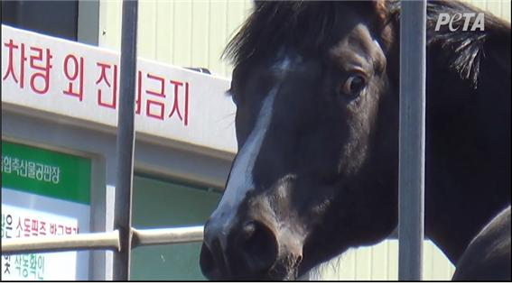 미국은 2005년 말도축이 연방법으로 금지되었고, 2007년 도축장이 전면 페쇄되었다. 한국의 퇴역 경주마의 처우가 근본적으로 개선되지 않는 한 전 세계적인 비판은 사라지지 않는다. 우리나라에서 가장 큰 도축장을 가지고 있는 제주, 그 도축장으로 향하는 말의 눈빛에 공포가 가득하다. 사진 출처: PETA 영상